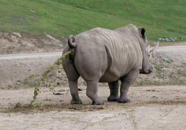 rhino-taking-a-dump-so-green